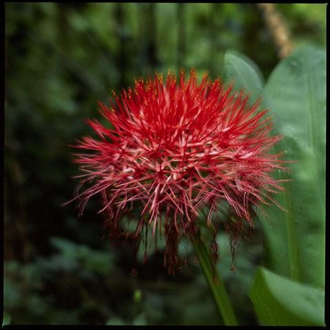 ARUSHA-Fireball lily 002