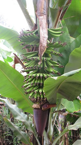 Banana tree-Slopes of Mt. Meru